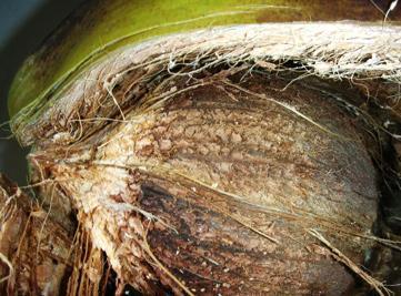 Naturel Marron//Gingembre coco fibre recouvert de fournitures